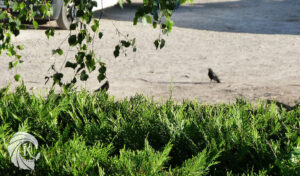 Couple grands corbeaux Un K à part