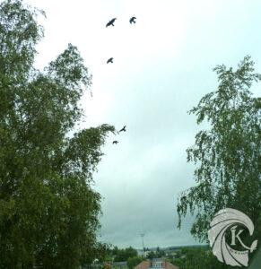 Vol de corbeaux Un K à part